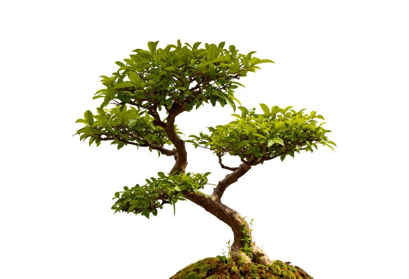 El arte del bonsái