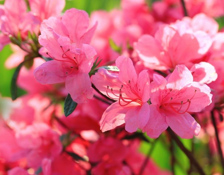 La azalea la planta de invierno viveros don pedro for Rododendro pianta