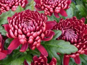 chrysanthemum-72684_960_720