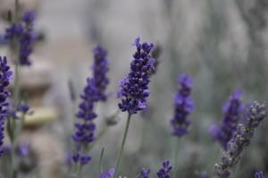 lavender-955847_960_720