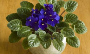 violeta-africana-4-668x400x80xX