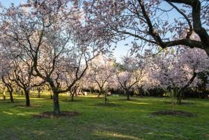 Almendros en flor en La Quinta de Los Molinos (Madrid)