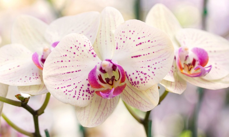 55150624 - yellow phalaenopsis orchid flower