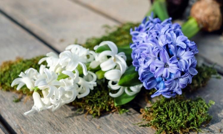 hyacinth-2119049_1920