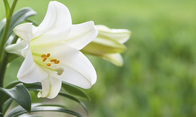 43625890 - macro view of white lily flowers with vibrant green grass background, shallow dof