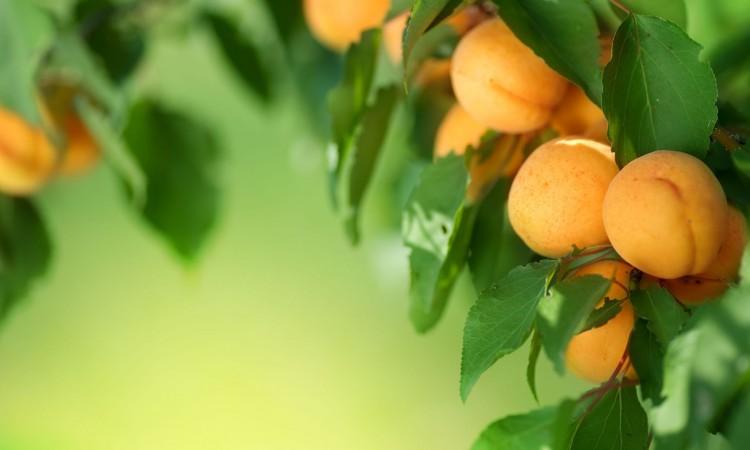 7579194 - apricot frame