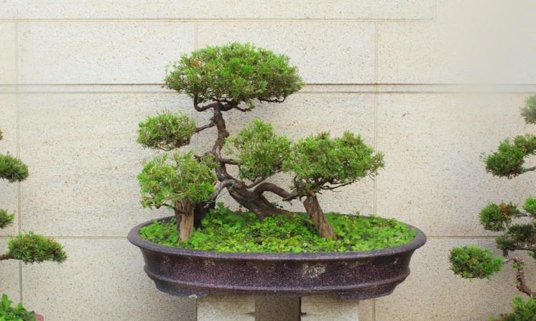 bonsai-tree-700632_960_720